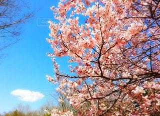 風景,空,花,春,桜,ピンク,お花見,天気,入学式,入園式,卒業式,キレイ,スタート,入社,新社会人,春空