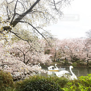 春,桜,桜の名所,吉祥寺,スワンボート,サクラ,お花見,地元,井の頭公園,さくら,白鳥ボート,井の頭池,ボート渋滞