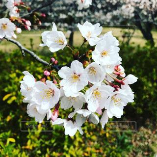 桜ですの写真・画像素材[1122585]