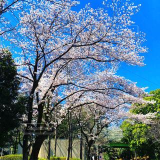 桜,木,青空,満開,お花見