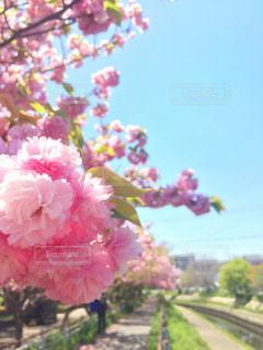 風景,花,春,桜,ピンク,青空,散歩,川,桜並木,満開,並木道,八重桜,快晴,尼崎,庄下川