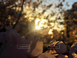 自然,風景,花,春,夕日,桜,木,屋外,太陽,夕暮れ,夕方,光,樹木,ベージュ,ミルクティー色