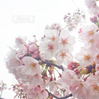 花,春,桜,木,雨,ピンク,水,フラワー,枝,水滴,花見,濡れる,光,サクラ,樹木,お花見,逆光,イベント,雫,滴,雨粒,草木,雨露,さくら,ブルーム,ブロッサム