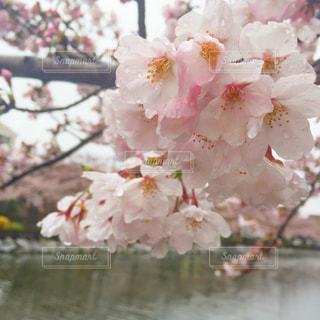 風景,花,春,桜,木,雨,ピンク,水滴,川辺,川,水辺,花見,景色,サクラ,樹木,お花見,イベント,露,雫,滴,雨粒,草木,桜の花,雨露,さくら,ブルーム,ブロッサム