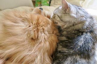 犬,猫,ポメラニアン,仲良し,アメリカンショートヘア,アメショ,犬と猫,ツーショット,内緒話
