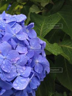 紫陽花,梅雨,雨の雫