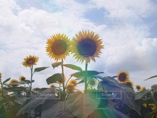 自然,花,ひまわり,青空,光,向日葵,フィルム,自然光,フィルム写真,ヒマワリ,フィルムフォト