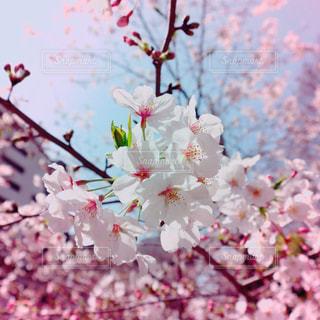 空,花,春,桜,ピンク,青空,花見,景色,満開,お花見,桜の花,さくら,ブルーム,ブロッサム