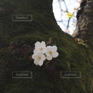 花,桜,木,屋外,花見,サクラ,お花見,草木,さくら,ぴ,フローラ