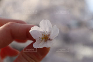 女性,花,桜,ピンク,手,花見,花びら,サクラ,満開,指,人,花弁,さくら