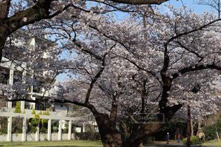 空,公園,花,春,桜,屋外,ピンク,花見,満開,樹木,草木,桜の花,さくら,ブロッサム,オーク