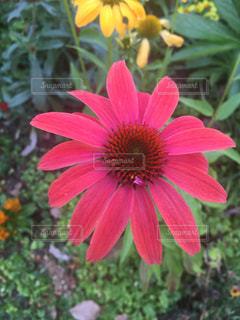 お花 ガーベラ 赤の写真・画像素材[533388]