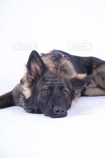 犬 - No.486312