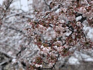 花,春,桜,木,雪,花見,お花見,イベント,桜の花,さくら,雪桜