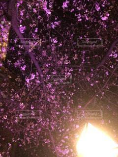 花,春,桜,木,花見,景色,お花見,イベント,エロティズム,セクシー桜
