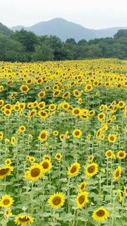 黄色の写真・画像素材[618286]