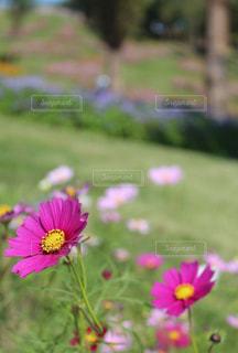 ピンクのコスモスの花の写真・画像素材[846150]