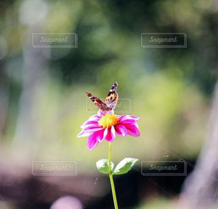 ピンクの花と蜜蜂の写真・画像素材[846239]