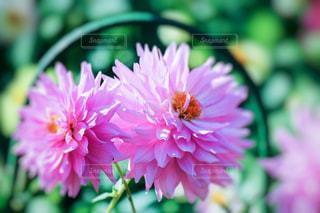 寄り添うピンクの花の写真・画像素材[846937]