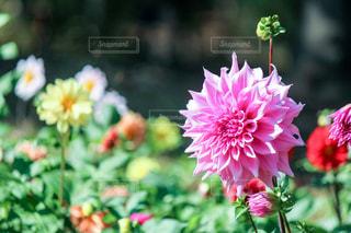 ピンクのダリアの花の写真・画像素材[846940]