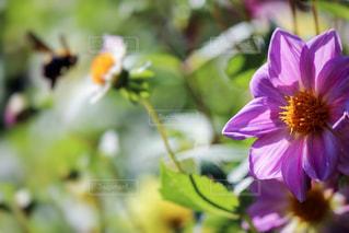 ピンクの花と蜜蜂の写真・画像素材[846944]