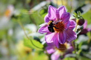 ダリアの花と蜜蜂の写真・画像素材[846946]