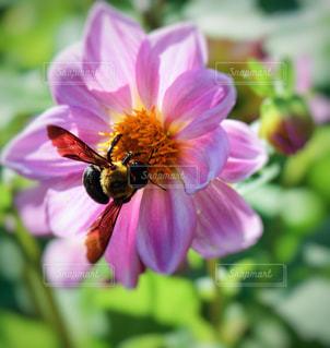 ピンクの花と蜜蜂の写真・画像素材[846947]