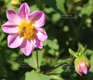 ピンク花と蜂の写真・画像素材[846952]