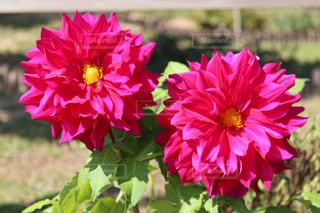 寄り添うダリアの花の写真・画像素材[846956]