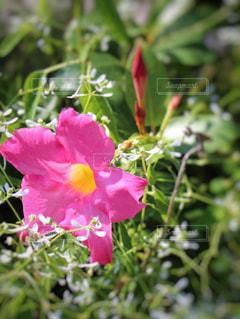 ピンクの花の写真・画像素材[846957]