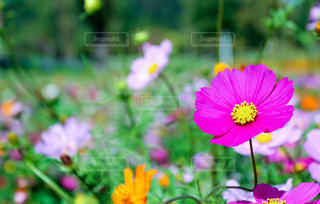 ピンクのコスモスの花の写真・画像素材[846962]