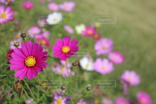 ピンクのコスモスの花の写真・画像素材[846968]
