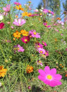 カラフルなコスモスの花の写真・画像素材[846970]