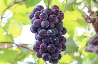 木にぶら下がった葡萄の写真・画像素材[847485]