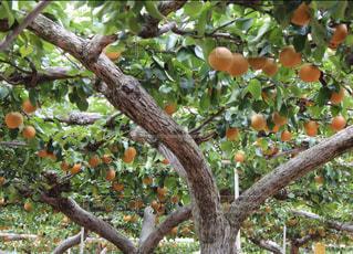 梨の木の写真・画像素材[847506]
