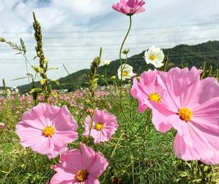 ピンクのコスモスの花 - No.847543