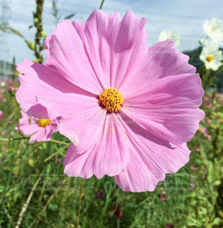 ピンクのコスモスの花 - No.847544