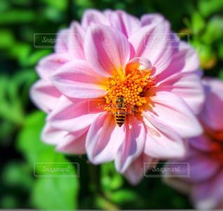 ピンクの花と蜜蜂の写真・画像素材[848899]