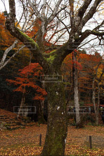 楓の写真・画像素材[877092]