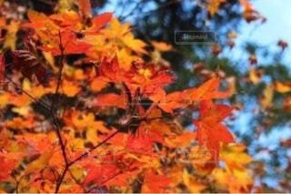 紅葉の写真・画像素材[878011]