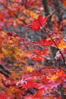 紅葉 - No.878014