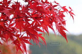 紅葉 - No.878022