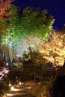 竹林のライトアップの写真・画像素材[929641]