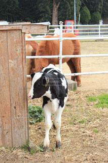 淡路島牧場の子牛の写真・画像素材[1042947]