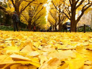 自然,風景,黄色,イチョウ,銀杏,イエロー,カラー,yellow,イチョウ並木