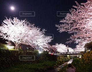 春,桜,夜桜,お花見,山口市,一の坂川