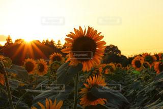 空,夏,夕日,夕焼け,黄色,オレンジ,向日葵,夕陽,ヒマワリ