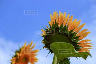 下から見た向日葵と青空の写真・画像素材[1340604]