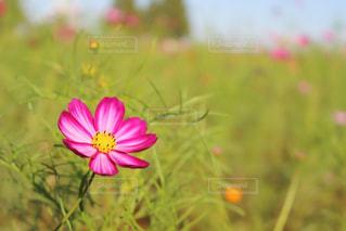 花,秋,ピンク,コスモス,秋桜,ピンク色,コスモス畑