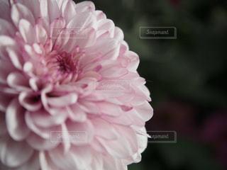 自然,花,ピンク,白,紫,プレゼント,誕生日,想い出,彼女